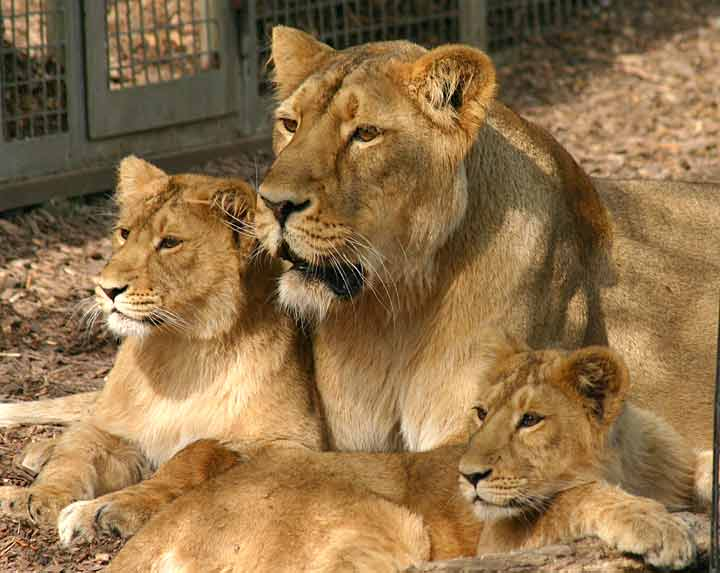 Lion cubs stay with their mother for about