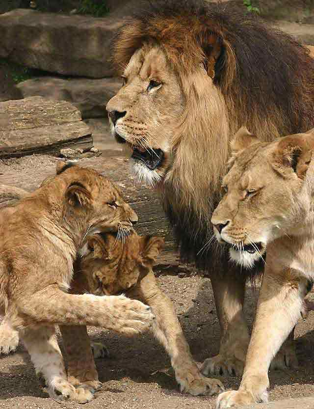 Lion family hd - photo#21