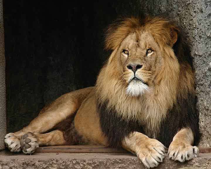 Image result for male lion